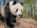 Giant Panda, China. Picture: Will Burrard Lucas/topwilldlifesites.com