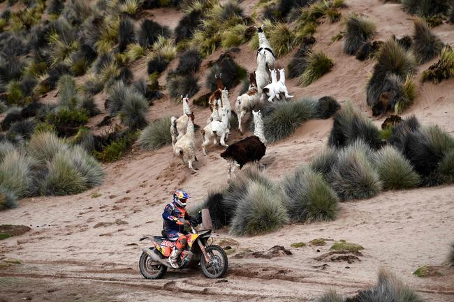 Toby Price races past a herd of llamas on Stage 7.