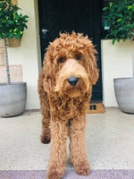 This Eddie, the Australian cobberdog. He spends half his time at his home in Fullarton and the other half as an office dog at Travel Associates. Picture Krystal Savage/Facebook