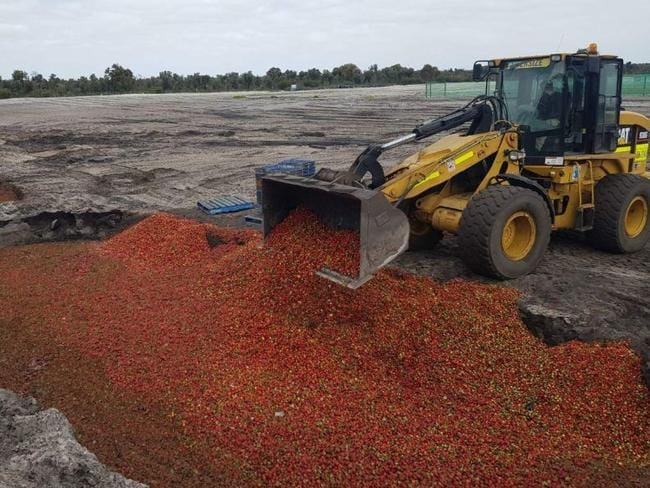 Strawberries being dumped in WA. Picture: Jamie Michael via ABC
