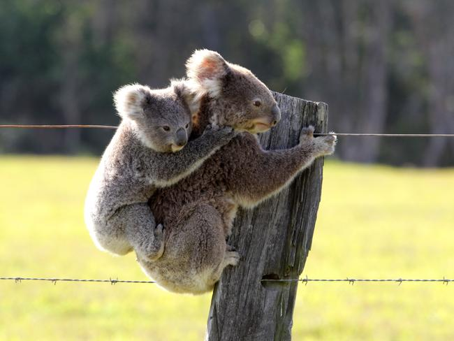 A koala and her baby take refuge from the fire in Port Macquarie.