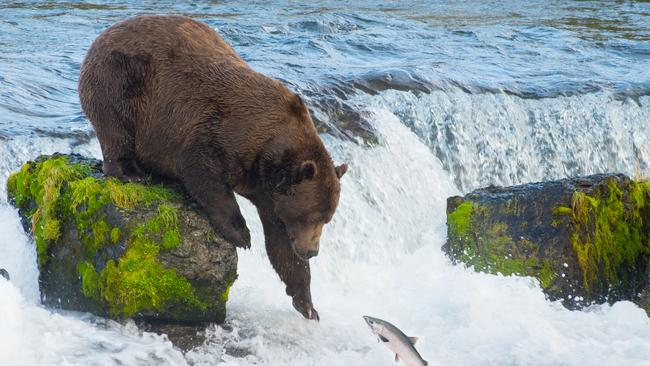 About 11 bear attacks happen in North America each year. Picture: iStock