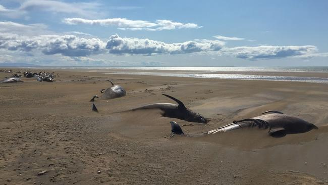 Reykjavik Helicopters released this tragic photo of stranded whales on the Longufjorur beach in the Snaefellsnes peninsula area in northwestern Iceland. About fifty pilot whales were stranded last week on the beach. Picture: AFP