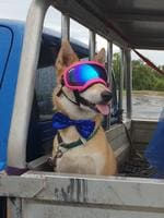 Mickey Daby is a 1.5 year old Husky X . Check out her sunnies, Don't get much cooler than that - Emma Daby