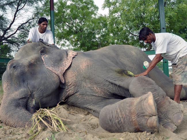 Raju the elephant, after his release with a reformed former mahout Sonu Ali at the sanctuary.