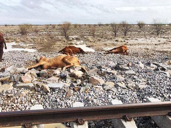 Rae Stretton posted these horrifying images of dead cattle from floodwaters in Eddington Station near Julia Creek.