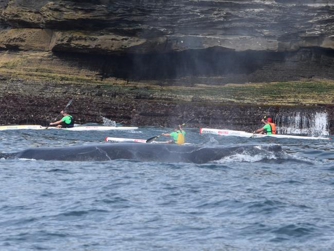 A humpback whale was the surprise late entrant to King of the Harbour kayak race