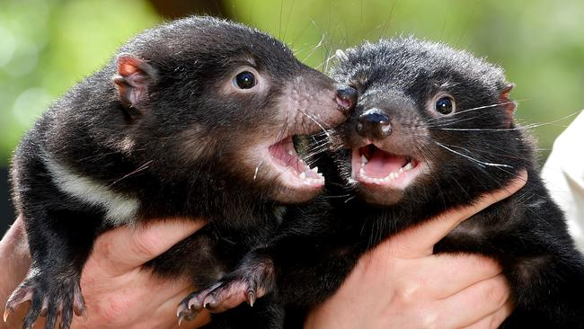 Researchers say it's time to bring Tassie devils back to the mainland. Picture: JAY TOWN