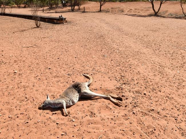 It's not just farm animals who have been affected by the drought. Picture: AAP