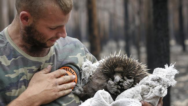 Patty Boyle rescues an echidna with a towel found wondering the ash-covered floor of a fire ravaged tree plantation. Picture: David Caird