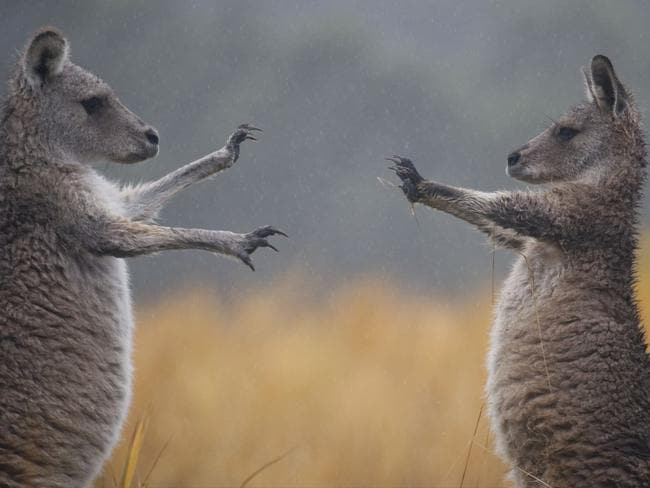 """Fighting Kangaroo by Augustin Leparmentier. """"To me it looks like a Tarantino movie,"""" the photographer said. Picture: Augustin Leparmentier/National Geographic Travel Photographer of the Year Contest"""