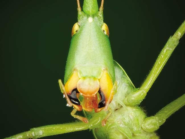This seed-eating katydid (Pseudorhynchus lessonii) has an elongated head and body, allowing it to lay flat along grass stems to hide. It has powerful mandibles for crushing hard seeds — mandibles also quite useful as a defensive measure against predators. Picture: Minibeasts/Alan Henderson