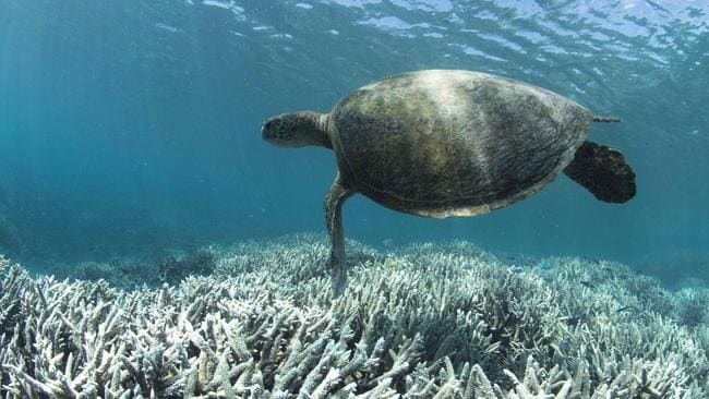A turtle swimming over bleached coral at Heron Island on the Great Barrier Reef. Picture: AFP/XL Catlin Seaview Survey