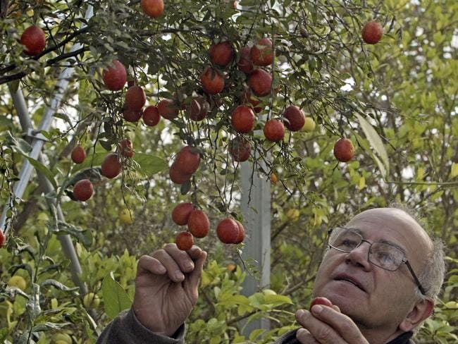 Growing demand ... French nurseryman Michel Baches looks at the Australian finger lime in south-western France. Picture: AFP