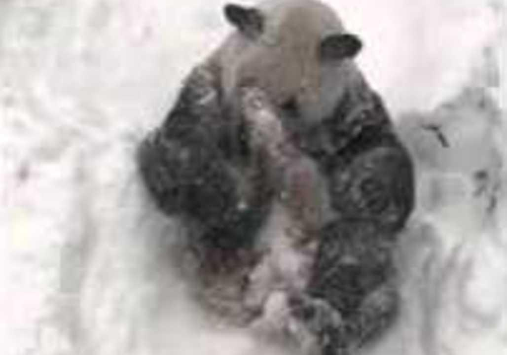 US DC: National Zoo's Giant Panda Makes a Snow Angel January 23