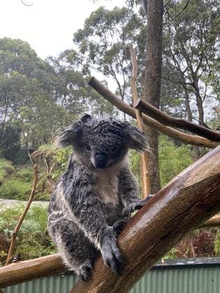 Soaked koalas had to be moved to drier enclosures. Picture: AAP/Supplied