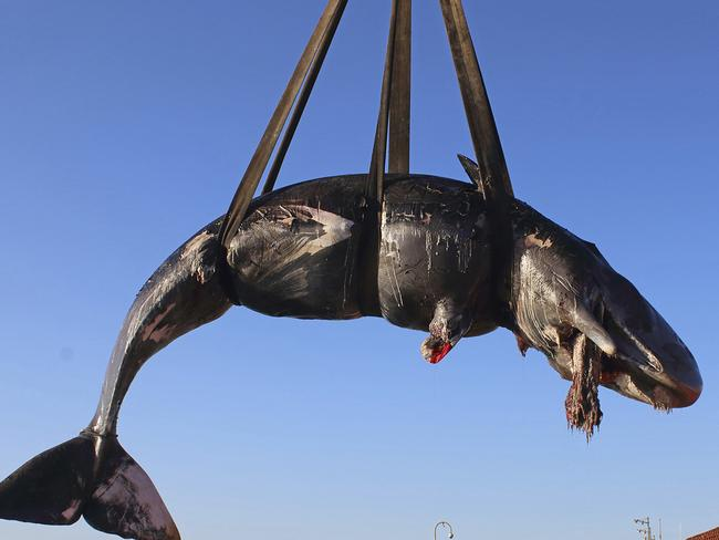 The whale is lifted up onto a truck after being recovered off Sardinia island, Italy. Picture: SEAME Sardinia Onlus