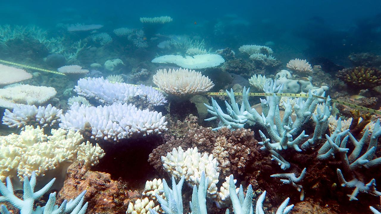 Reports On Coral Bleaching Causing Grief
