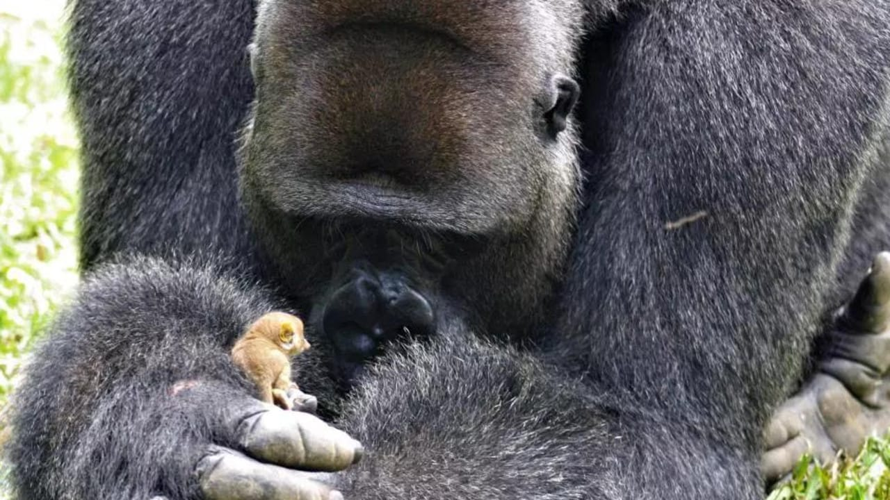 Rescue gorilla Bobo makes a tiny new pal after finding a bush baby in his enclosure.