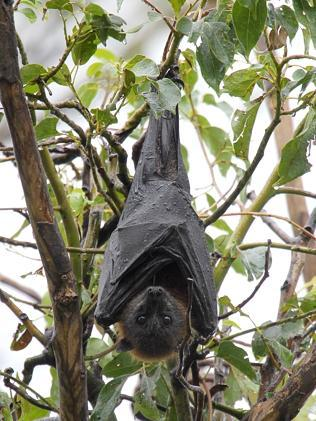 Bats infest the trees - but a cull is out.