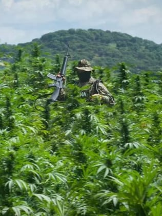 A Mexican cop makes his way through a massive cannabis field.