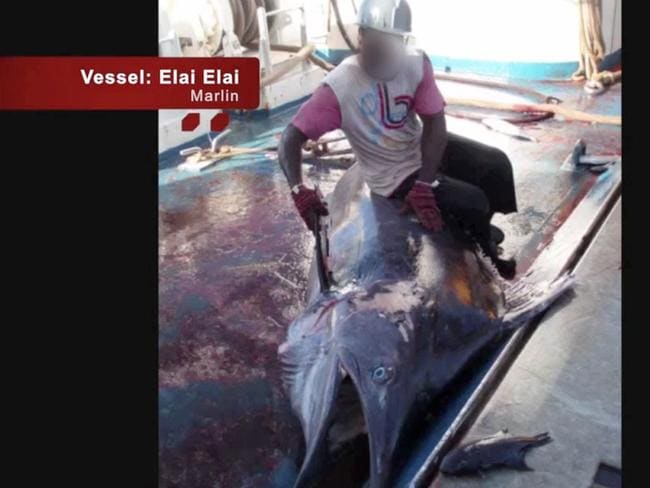 Endangered Marlin are also caught in the nets. Picture: Screengrab/Greenpeace