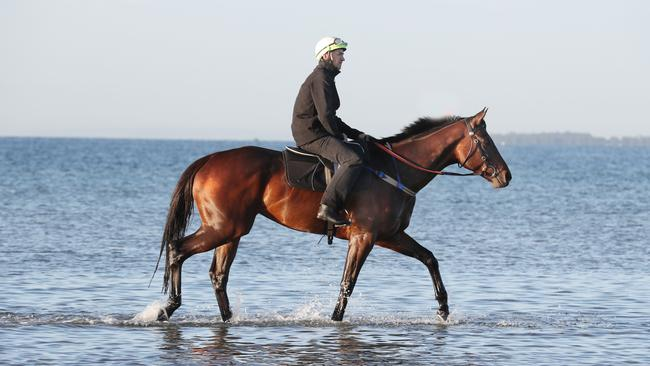 Winx takes a paddle at Altona beach after winning the Cox Plate for the third time. Picture: David Crosling