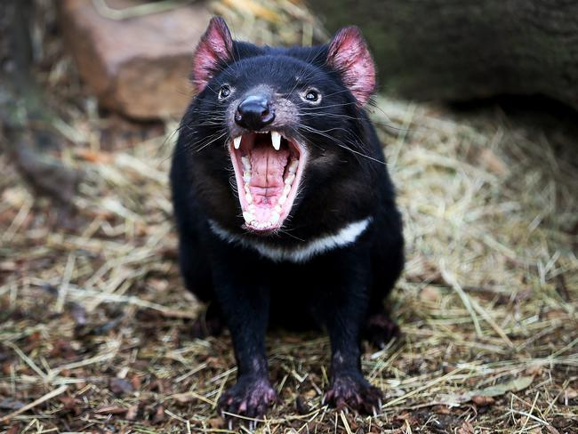 deadly tasmanian devil cancer evolving to optimal virulence says