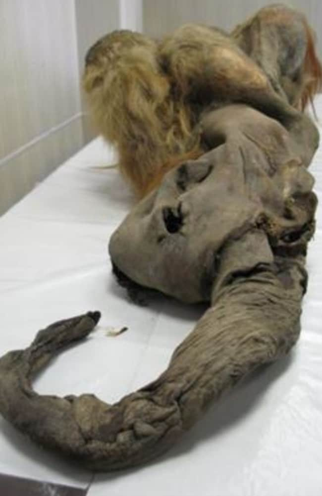 Photograph of the remains of a woolly mammoth, named Yuka. Picture: Scientific Reports