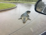 Hurricane Harvey forces alligators on to the streets and under cars as powerful storm batters Texas The chilling warning was issued by the Fort Bend County Sheriff's Office as Texas was light night slammed with the most powerful storm to strike the US mainland in a decade. Alligators may turn up in unexpected places as a result of Hurricane Harvey. Picture: Facebook