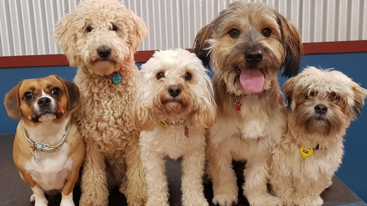 Vada (pugalier), Maddy (mini groodle), Macie (cavoodle), Susie (Maltese cross) and Hugo (schmoodle) each have about 530 million nerve cells in the cerebral cortex part of their brains. Picture: supplied