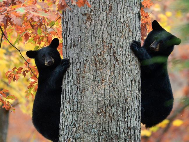 Two black bear cubs pause as they climb a tree in a residential area of Kingston Township, Pennsylvania. AP Photo/Citizens' Voice, Andrew Krech