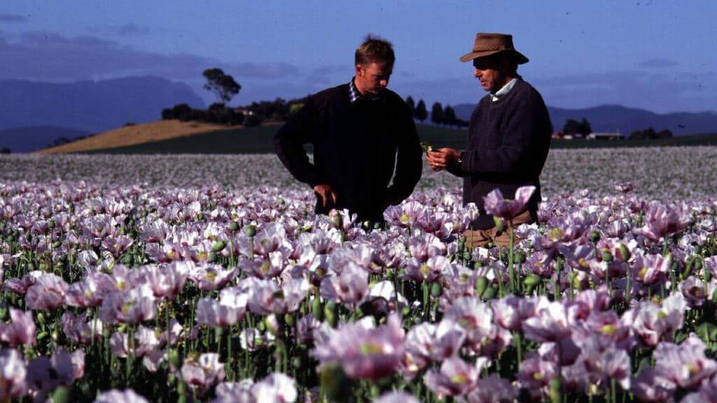 Opium Poppies Legalised In Sa But Farmers Not Yet Contracted
