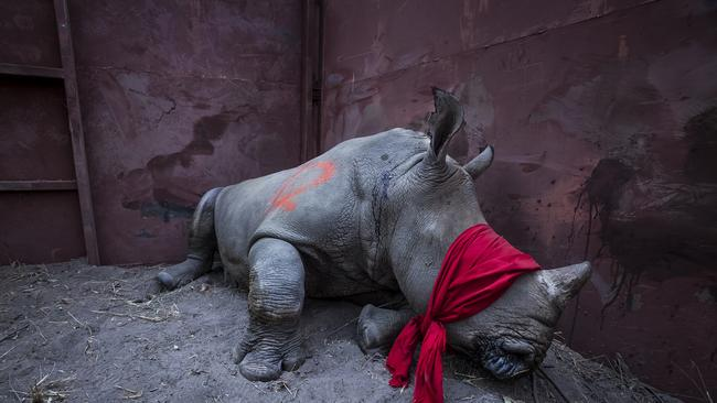Rhinos are killed by poachers for their horns, which are trafficked and sold illegally in China and Vietnam, where it is believed — wrongly — that the horn has medicinal properties. Picture: Neil Aldridge/World Press Photo