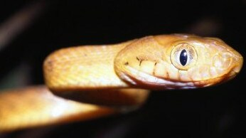The cat-eye snake is a sneaky and devastating species.
