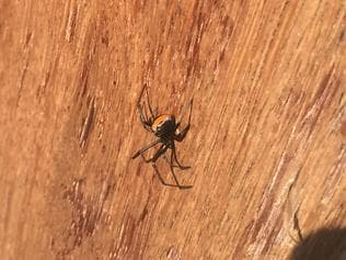 Redback spider at an Upper Coomera home.