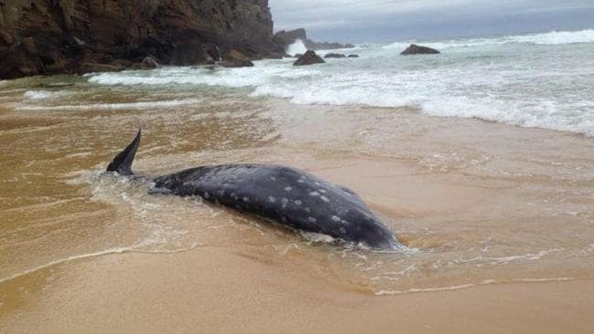 A rare beaked whale recently washed up on a beach near Newcastle. Picture: Facebook / ORRCA Inc