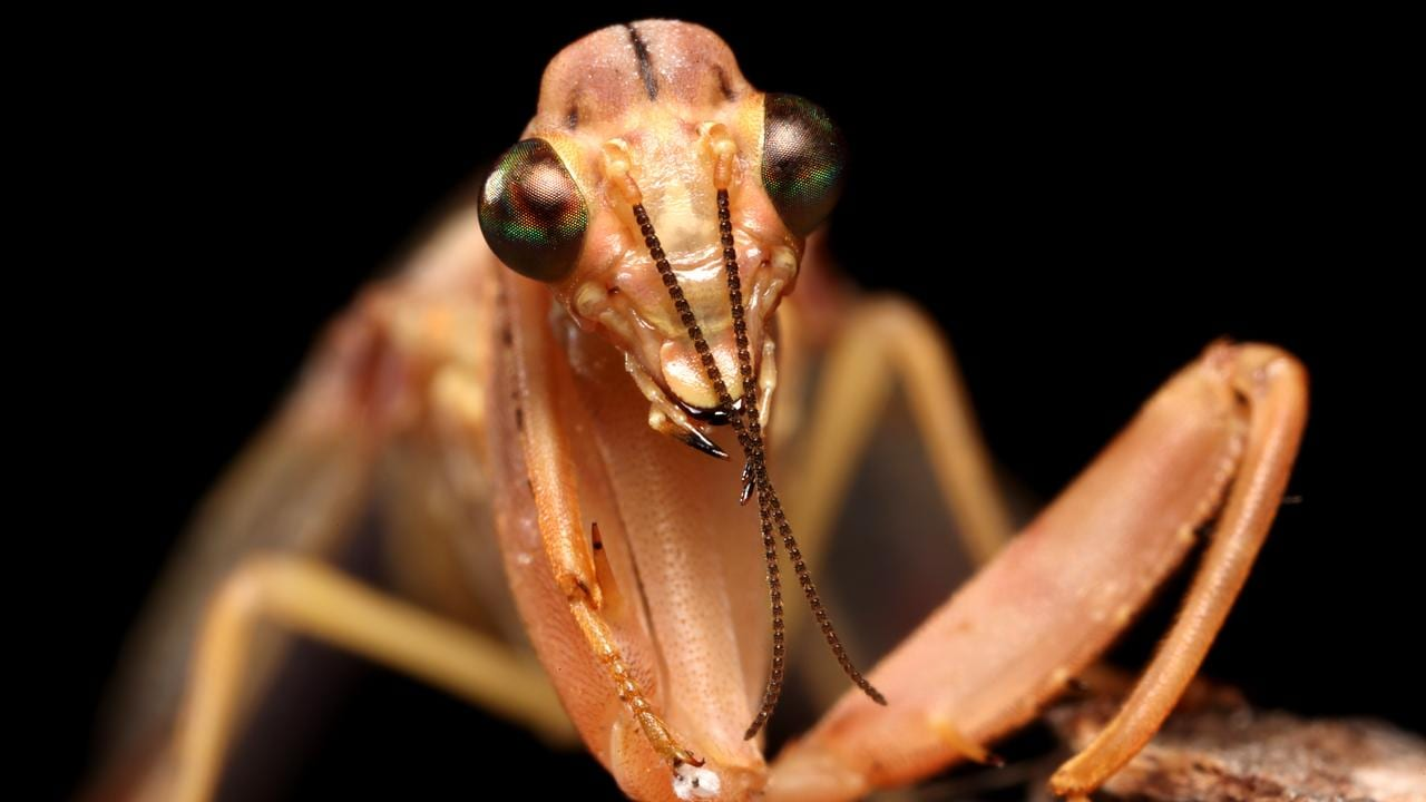 A close up of a praying mantis. Picture: Nathan Edwards