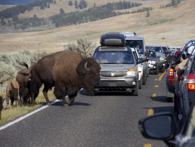 A file photo shows a bison blocking traffic at Yellowstone National Park.