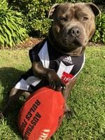 Harvey never misses an opportunity to cheer on the mighty Pies, a true footy fan.That being said, the three-year-old English staffy can be found practicing his epic footy skills in the backyard or with his mates at the local dog park. Harvey also doesn't mind a regular recovery session napping on the couch. Picture: Tahli Brittain, Eltham