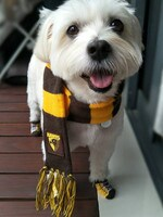 Sammy the 10-year-old maltese cross has a full Hawthorn-themed wardrobe which includes a Hawks scarf, socks, footy jumper, bandana, rain coat, and personalised Hawthorn collar and harness. His mum is also a 22-year member, and we watch the games on TV together! Picture: Dianne Cappelli, St Albans