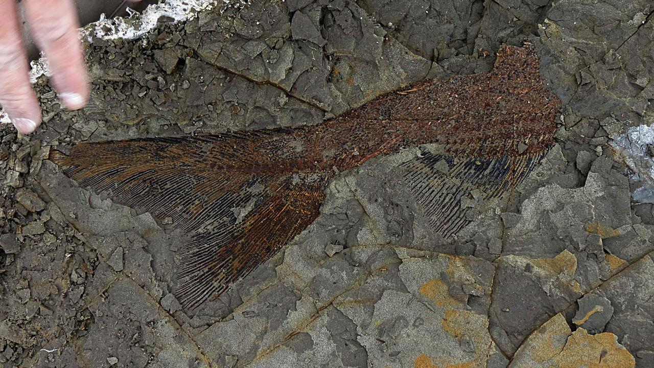 A partly exposed, perfectly preserved 66-million-year-old fish fossil found at the North Dakota site. Picture: AFP