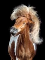 """Image Name: Perfect Toupee Photographer Name: Wiebke Haas Anton was tickled in the ear to shake his head. His thick mane looks like a hairpiece. Most of the time he held his his head close to the ground so it took a lot of time to manage this shot. Series Name: Horsestyle Series Description: When people ask me why I'm photographing horses I usually respond: """"Because I adore their beauty and magnificent grace!"""" But there is another reason as well. Horses can be hilarious and darn funny! It's my greatest passion to tease out nearly human expressions of my horse models. It was really fun to work with such different horsy characters. The black PRE Allaus learned to shake on hand sign within 5 minutes before the photo session! Arabian stallion Hafid preferred to neigh proudly in studio first before he realized that 3 girls where absolutely euphoric when he shook his head. The most difficult part was to keep the horses straight to the camera. Most time they wanted to move their head to the side or downward. A good handling and horse goodies were highest priority. I focused on a great face and a harmonic choreography of the hairs. Picture: Wiebke Haas, Germany, Shortlist, Professional, Natural World & Wildlife (2018 Professional competition), 2018 Sony World Photography Awards"""
