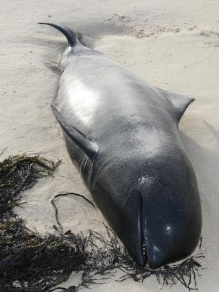 One of the beached whales. Picture: Parks Victoria