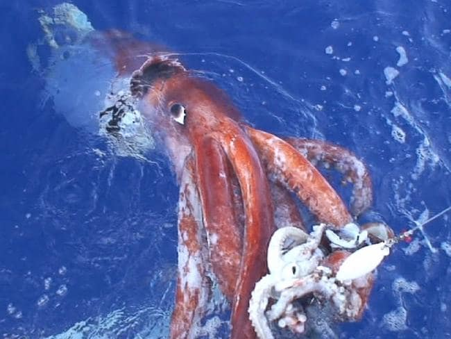 In 2006 south of Tokyo a research team succeeded in filming the giant squid live, using bait squid. Picture: AP