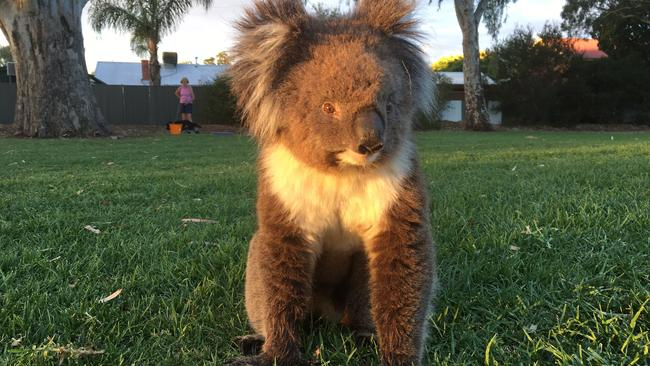 The koala at Mitcham Primary Reserve was later found to be gravely unwell. Picture: Craig Cook