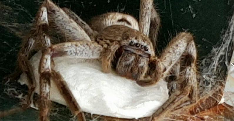 AU VIC: Huntsman Mother and Her 100 Children Make New Home in Mailbox November 21