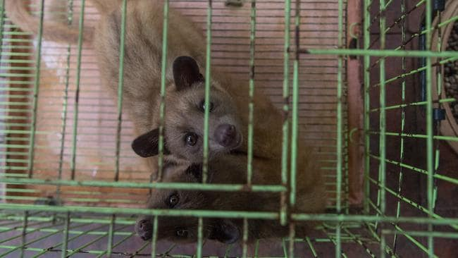 These two civets kept at a Kopi Luwak coffee venue barely have enough room to turn around. Civets at several other venues displayed self-mutilation through tail biting.
