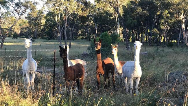 The six alpacas owned by Lizzie and Joe Sabo.