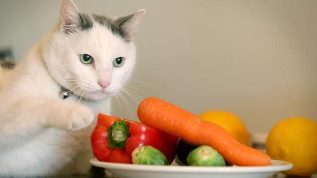 """Pussi"" is a Queensland vegan cat owned by Jessica Martella from Brighton. He is thriving on the diet, despite warnings by vets that cats should be eating meat."